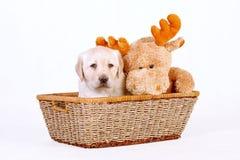 Het puppy van Labrador met stuk speelgoed royalty-vrije stock foto's
