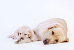 Het puppy van Labrador met zijn moeder Royalty-vrije Stock Foto's