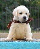 Het puppy van Labrador op een blauwe achtergrond Stock Afbeeldingen