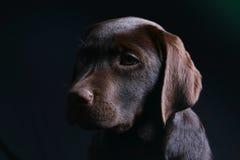 Het Puppy van Labrador van de chocolade stock afbeelding