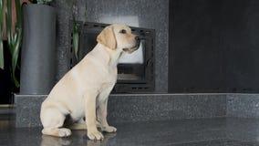 Het puppy van Labrador wacht obediently op het bevel van de eigenaar stock videobeelden