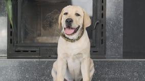 Het puppy van Labrador wacht obediently op het bevel van de eigenaar stock footage
