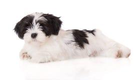Het puppy van Lhasaapso op wit Stock Afbeelding