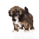 Het puppy van Lhasaapso op wit Royalty-vrije Stock Afbeeldingen