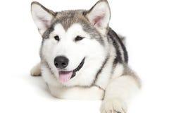 Het puppy van Malamute Stock Foto's