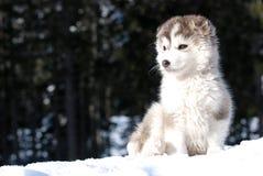 Het puppy van Malamute Royalty-vrije Stock Afbeeldingen