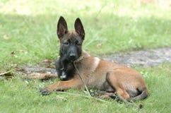 Het puppy van Malinois Stock Foto's