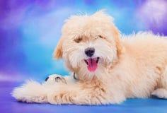 Het puppy van Maltees/van de poedel het stellen met bal Royalty-vrije Stock Afbeelding