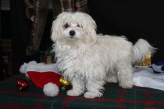 Het Puppy van Malteese van de vakantie Stock Foto