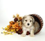 Het Puppy van Morkie Stock Afbeeldingen