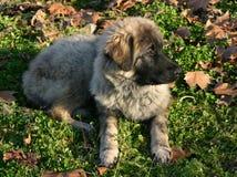 Het puppy van Newfoundland Royalty-vrije Stock Afbeeldingen