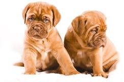 Het Puppy van Nice Stock Fotografie
