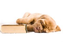 Het Puppy van Nice Royalty-vrije Stock Fotografie