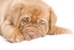 Het Puppy van Nice Royalty-vrije Stock Foto
