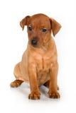 Het puppy van Pinscher Royalty-vrije Stock Fotografie