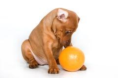Het puppy van Pinscher Royalty-vrije Stock Foto's