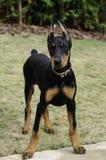 Het Puppy van Pinscher van Doberman Stock Foto's