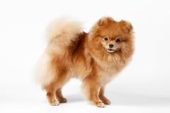 Het puppy van Pomeranian Stock Fotografie