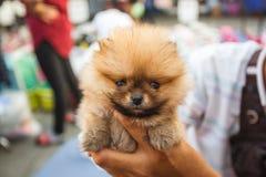 Het puppy van Pomeranian Stock Afbeeldingen