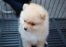 Het puppy van Pomeranian Royalty-vrije Stock Foto