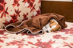 Het puppy van predikantrussell terrier Stock Foto