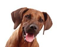 Het gezicht van de hond Stock Foto