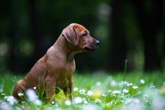 Het puppy van Rhodesian ridgeback in openlucht Stock Fotografie