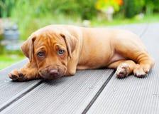 Het puppy van Rhodesianridgeback het liggen Stock Afbeeldingen
