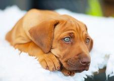Het puppy van Rhodesianridgeback met blauwe ogen Royalty-vrije Stock Afbeelding