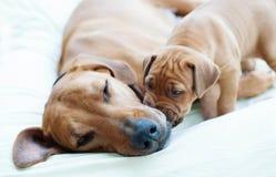Het puppy van Rhodesianridgeback met zijn mamma Stock Foto