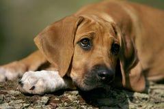 Het puppy van Ridgeback Stock Foto's