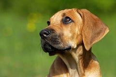 Het puppy van Ridgeback Royalty-vrije Stock Foto's