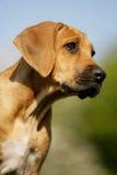 Het puppy van Ridgeback van Rhodesian Royalty-vrije Stock Afbeeldingen
