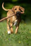 Het puppy van Ridgeback van Rhodesian Royalty-vrije Stock Foto