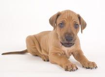Het puppy van Ridgeback van Rhodesian, 5 weken oud, het liggen Stock Afbeeldingen