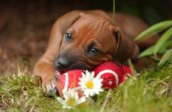 Het Puppy van Ridgeback van Rhodesian Stock Afbeelding
