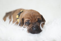 Het puppy van Ridgeback van Rhodesian Stock Fotografie