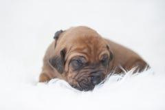 Het puppy van Ridgeback van Rhodesian Stock Afbeeldingen