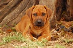 Het puppy van Ridgeback van Rhodesian in het hout stock afbeeldingen