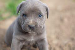 Het puppy van rietcorso Stock Afbeelding