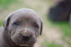 Het puppy van rietcorso Royalty-vrije Stock Foto