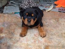 Het puppy van Rottweiler stock foto
