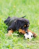 Het puppy van Rottweiler op een gras Royalty-vrije Stock Afbeeldingen
