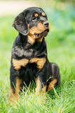 Het puppy van Rottweiler op een gras Royalty-vrije Stock Foto's