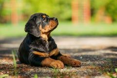 Het puppy van Rottweiler op een speelplaats Stock Afbeelding