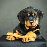 Het puppy van Rottweiler op een zwarte achtergrond Stock Afbeelding