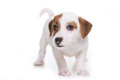 Het puppy van Russell Terrier van de hefboom Royalty-vrije Stock Foto's