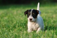 Het puppy van Russell Terrier van de hefboom stock foto's