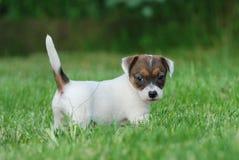 Het puppy van Russell Terrier van de hefboom Royalty-vrije Stock Afbeeldingen