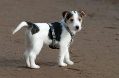 Het puppy van Russell van de Hefboom van de predikant Royalty-vrije Stock Fotografie
